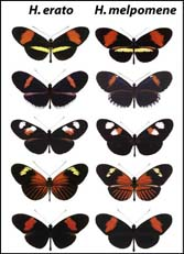 Comparative phylogeography of Heliconius co-mimics
