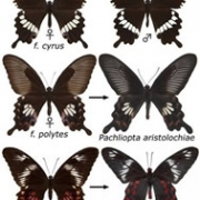 Genetics of mimicry in Papilio polytes