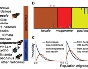 Hybridization & introgression among Heliconius