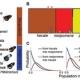 Hybridization & introgression among Heliconius