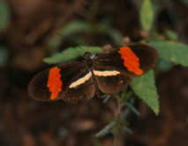 Phylogeography of Heliconius across Central America