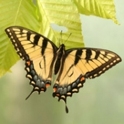 Speciation and mimicry in tiger swallowtail butterflies